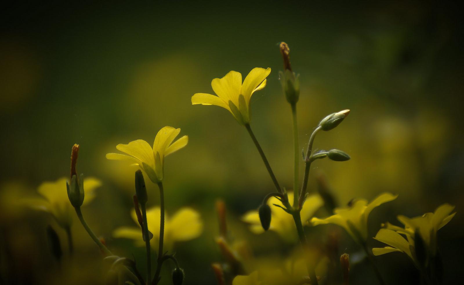Álomvirágok