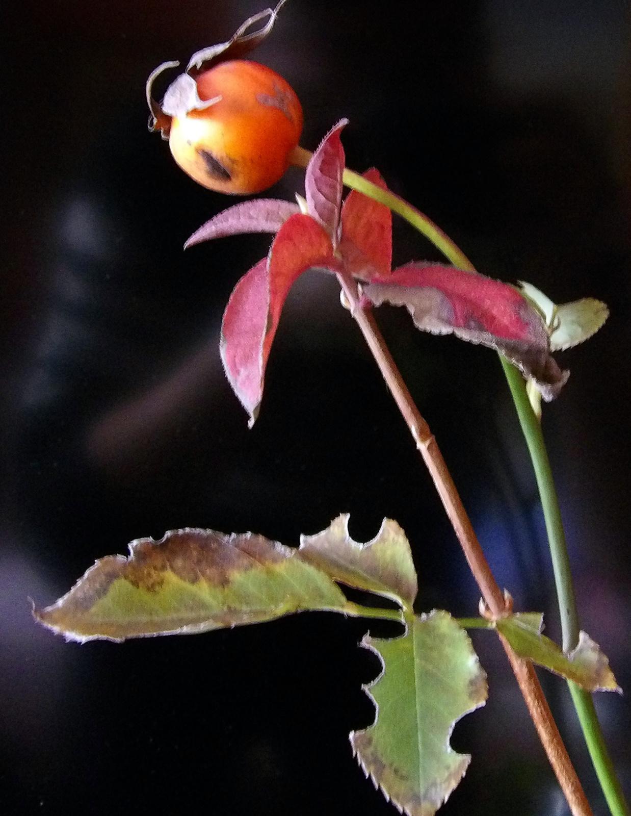 Téli rózsa