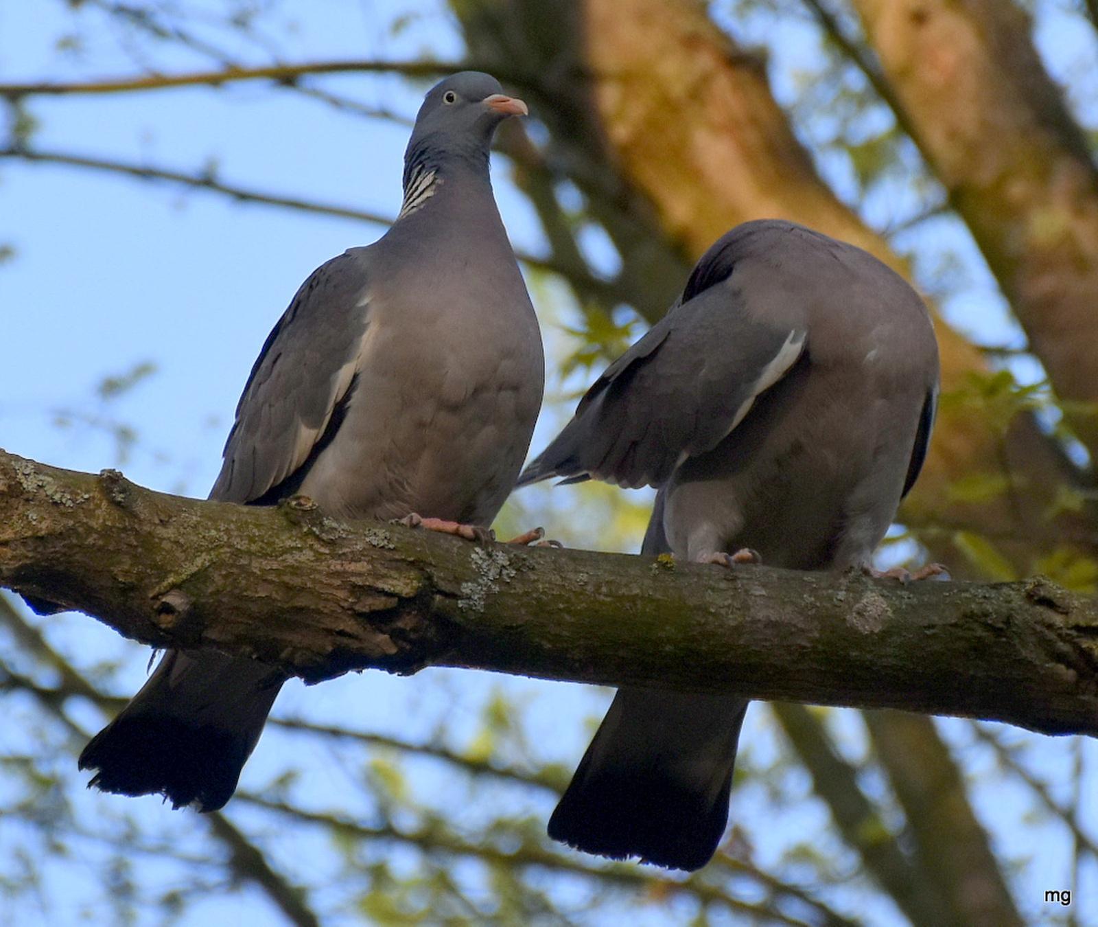 Örvös galambok szerelme 1.