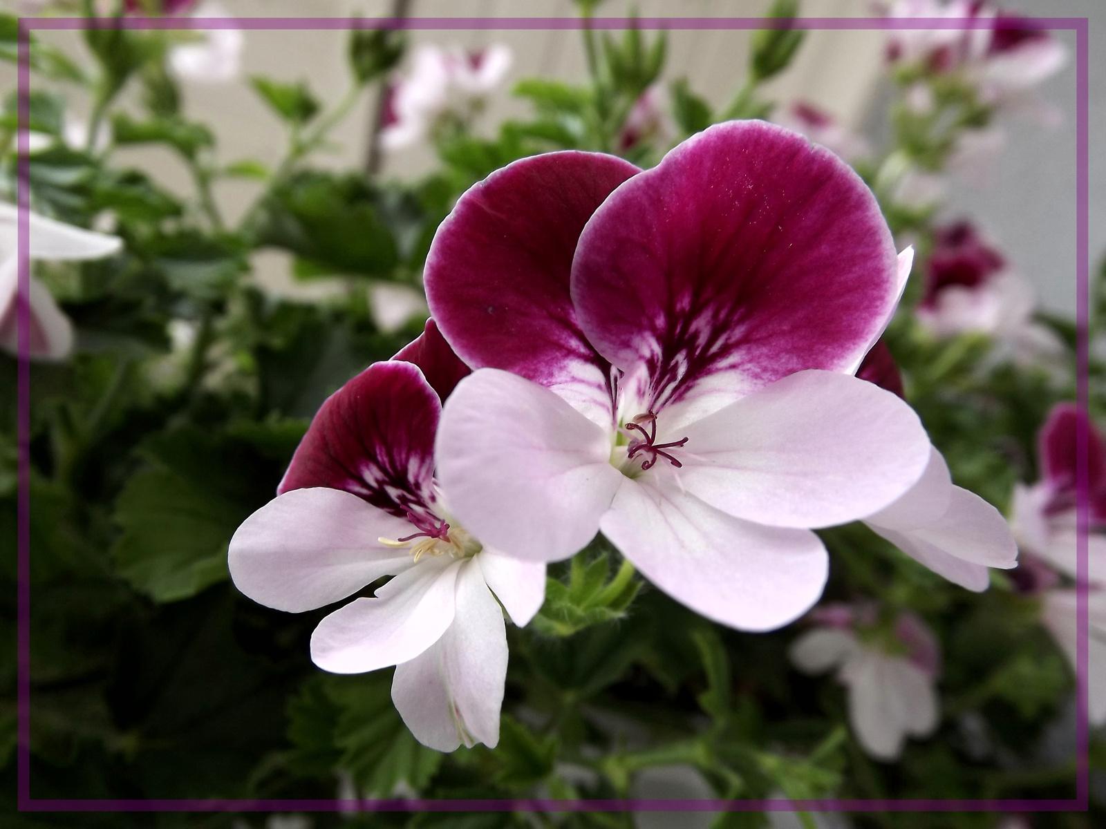 Lila-fehér