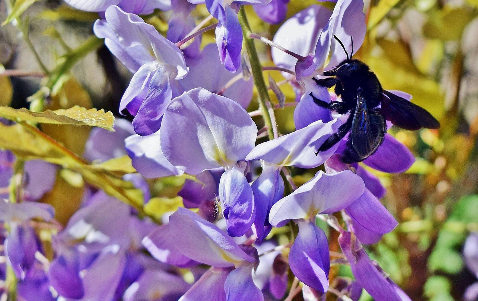 Kék fadongó a lila akácon