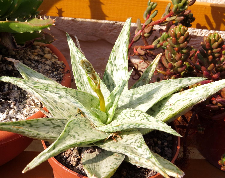 Aloe 'White cloud'