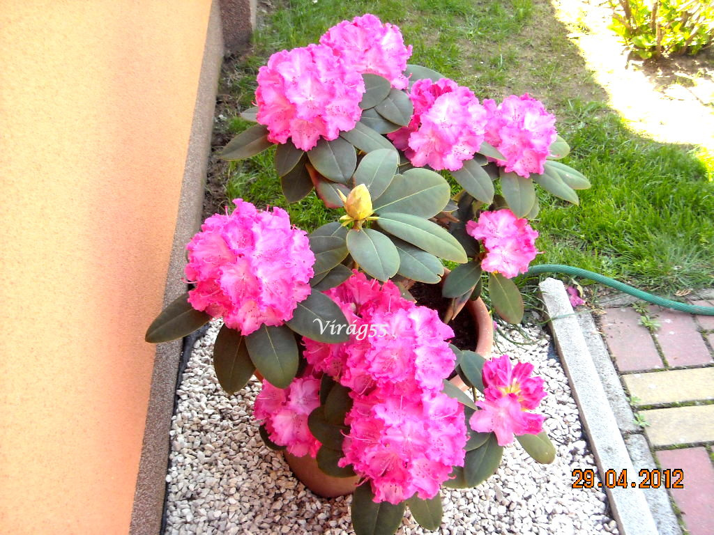 Rhododendron 04.29 003