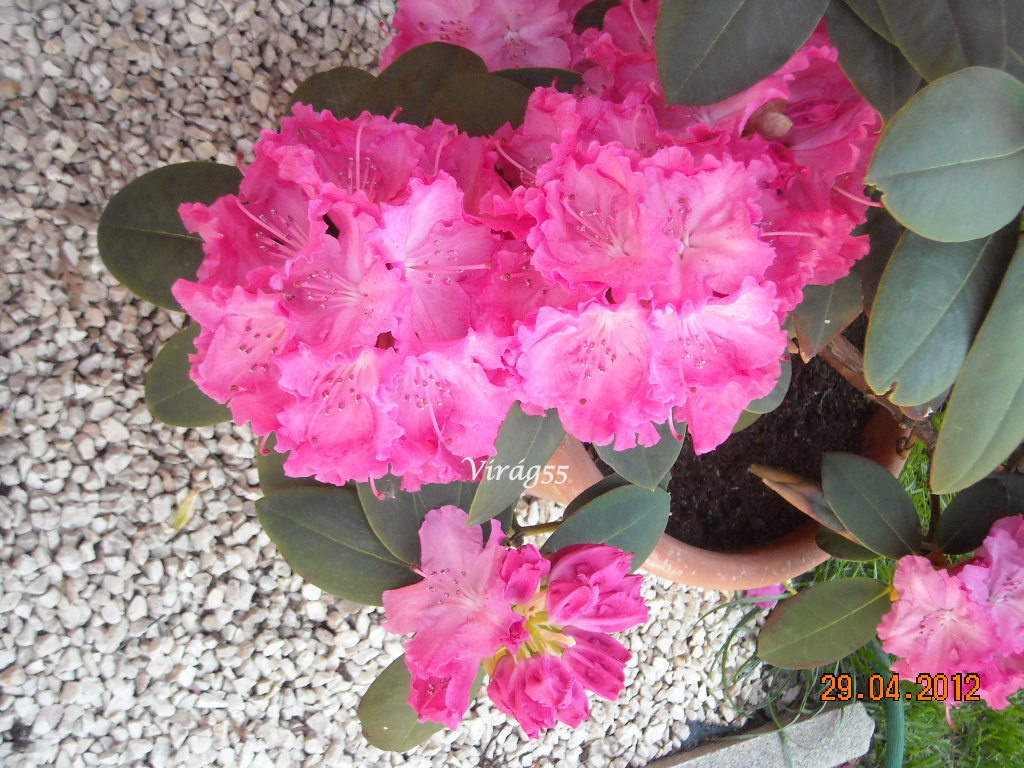 Rhododendron 04.29 004