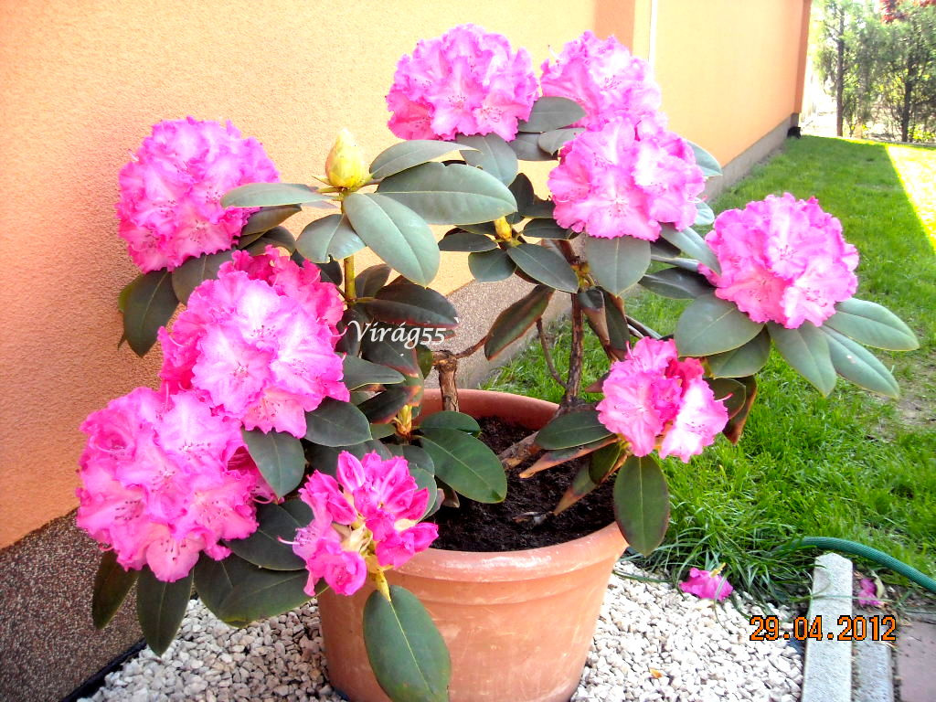 Rhododendron 04.29 007