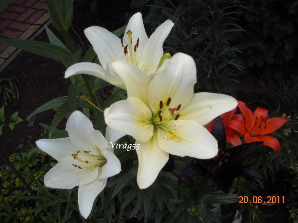 lilom