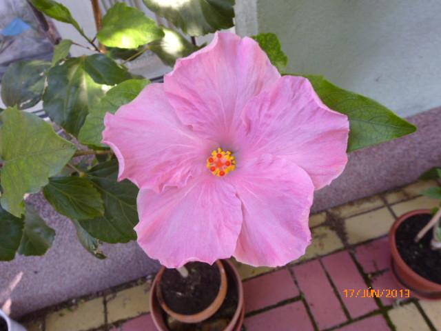 06.16 016 Alba Rosa sokadik virága