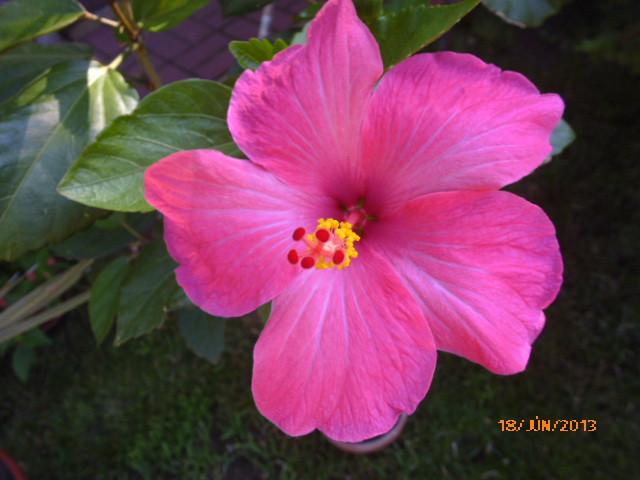 06.16 017 magonc 3.sz első virága
