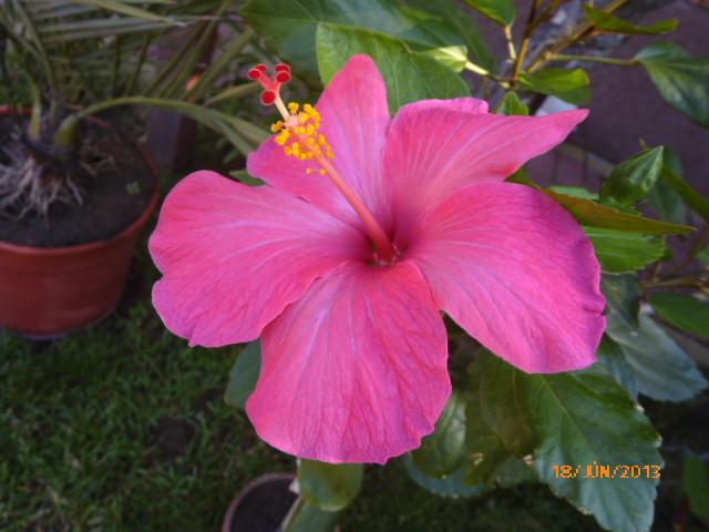 06.16 018 magonc 3.sz első virága