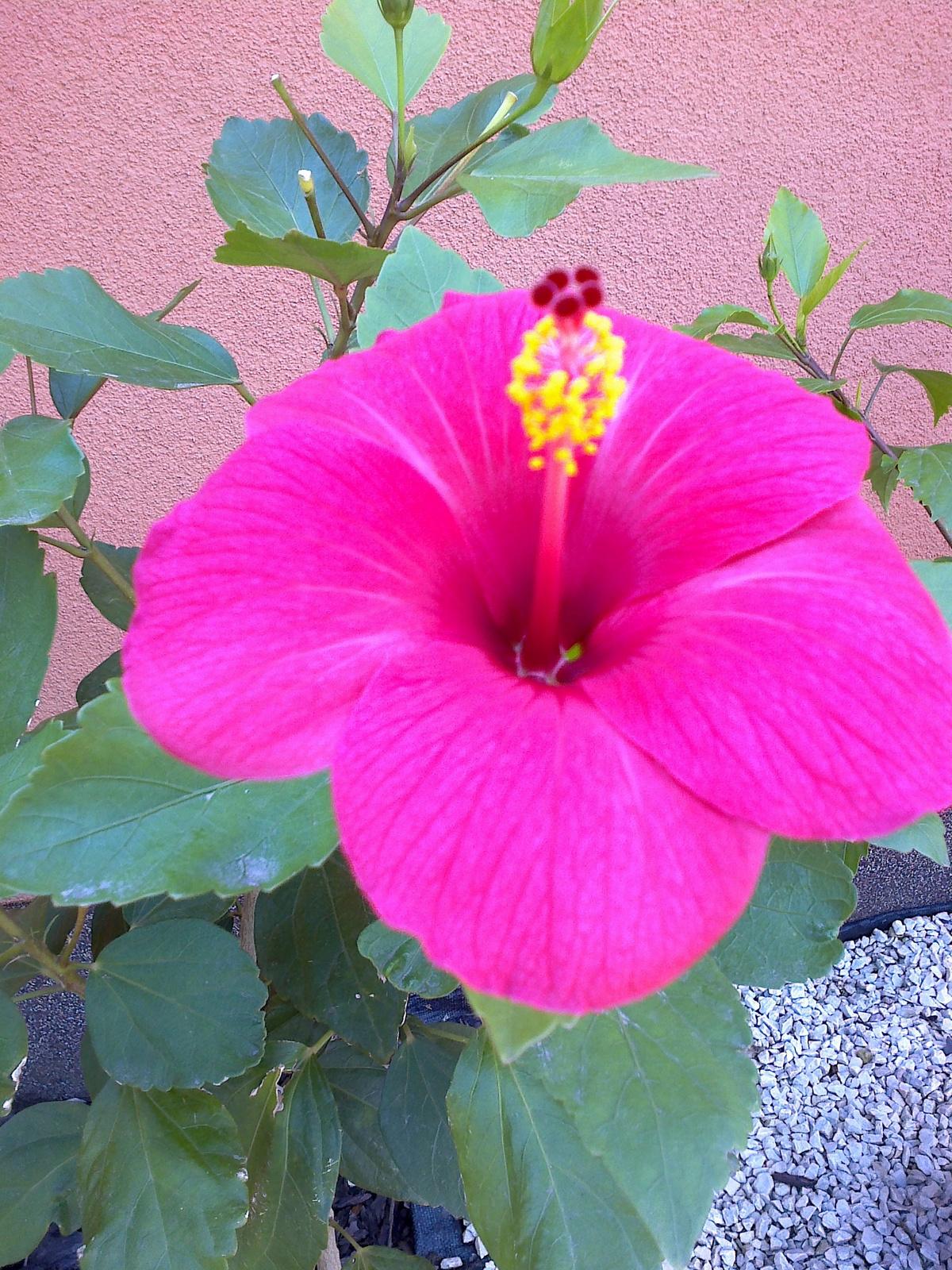 magonc1 pink