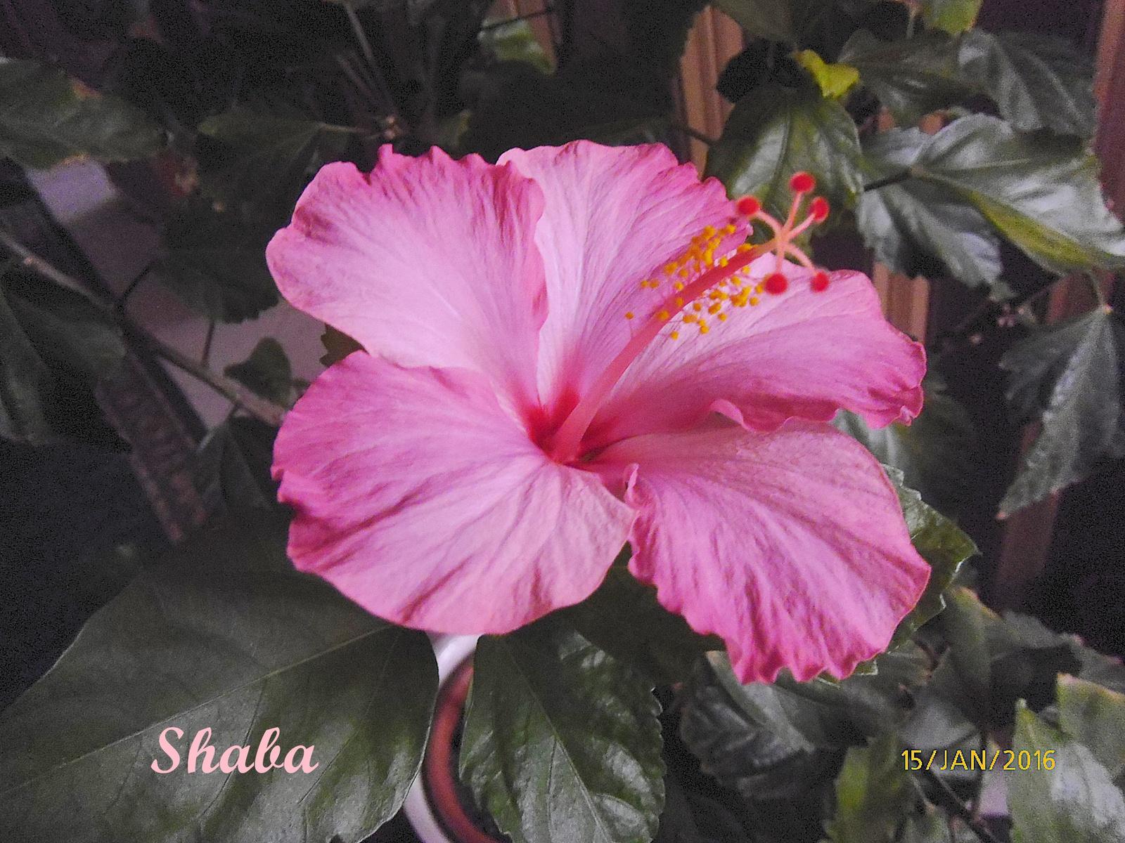 shaba P1030345
