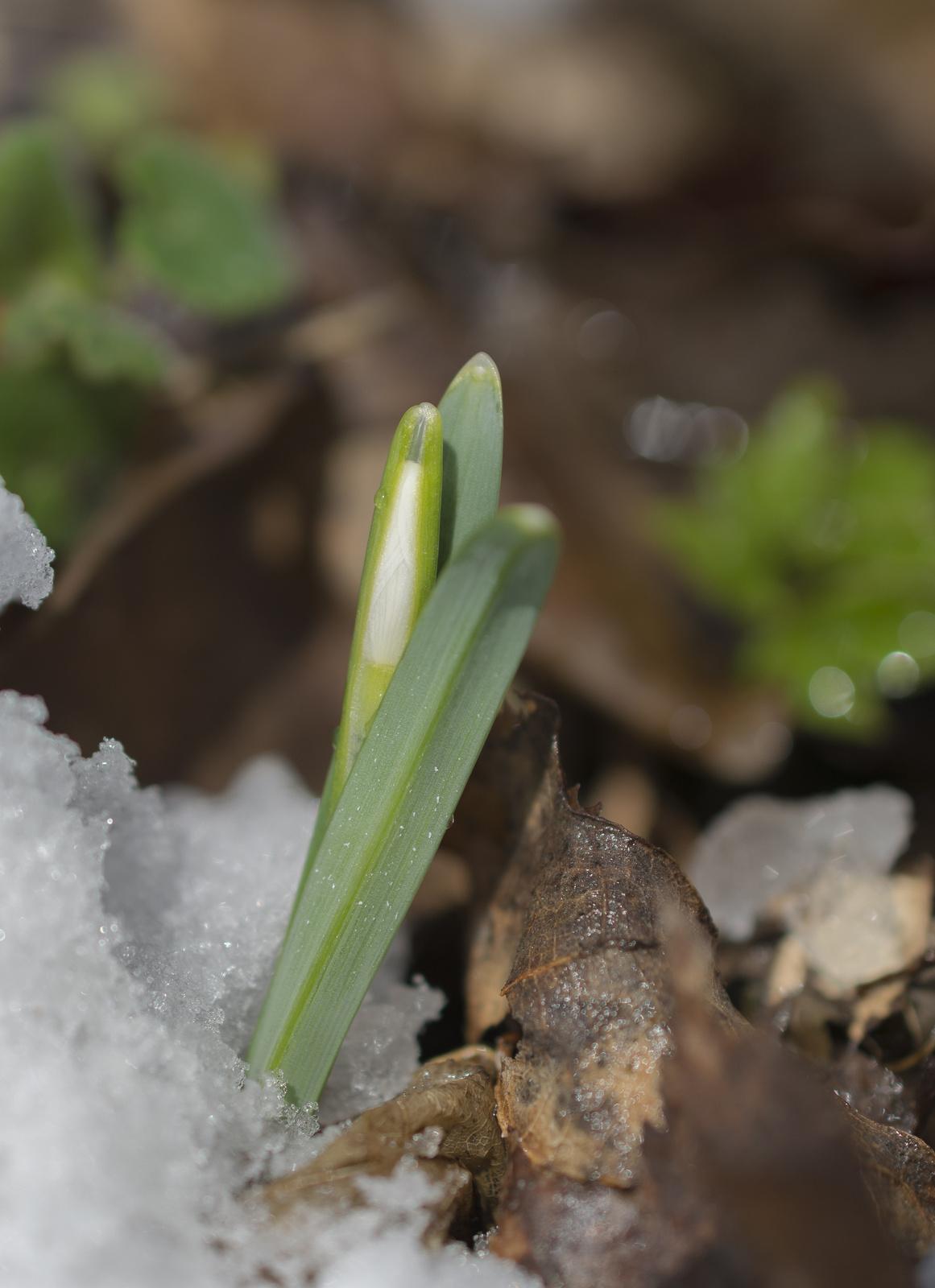 Ébredés. Kikeleti hóvirág