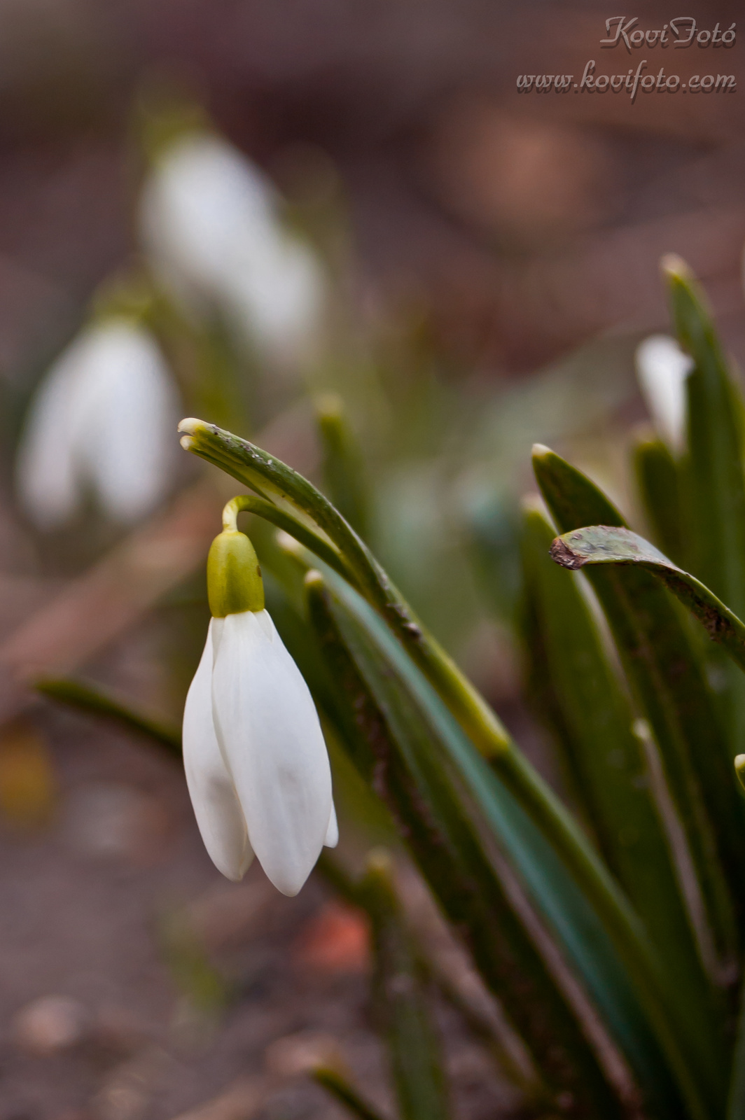 A tavasz hírnőkei (Háztáji Hóvirág)