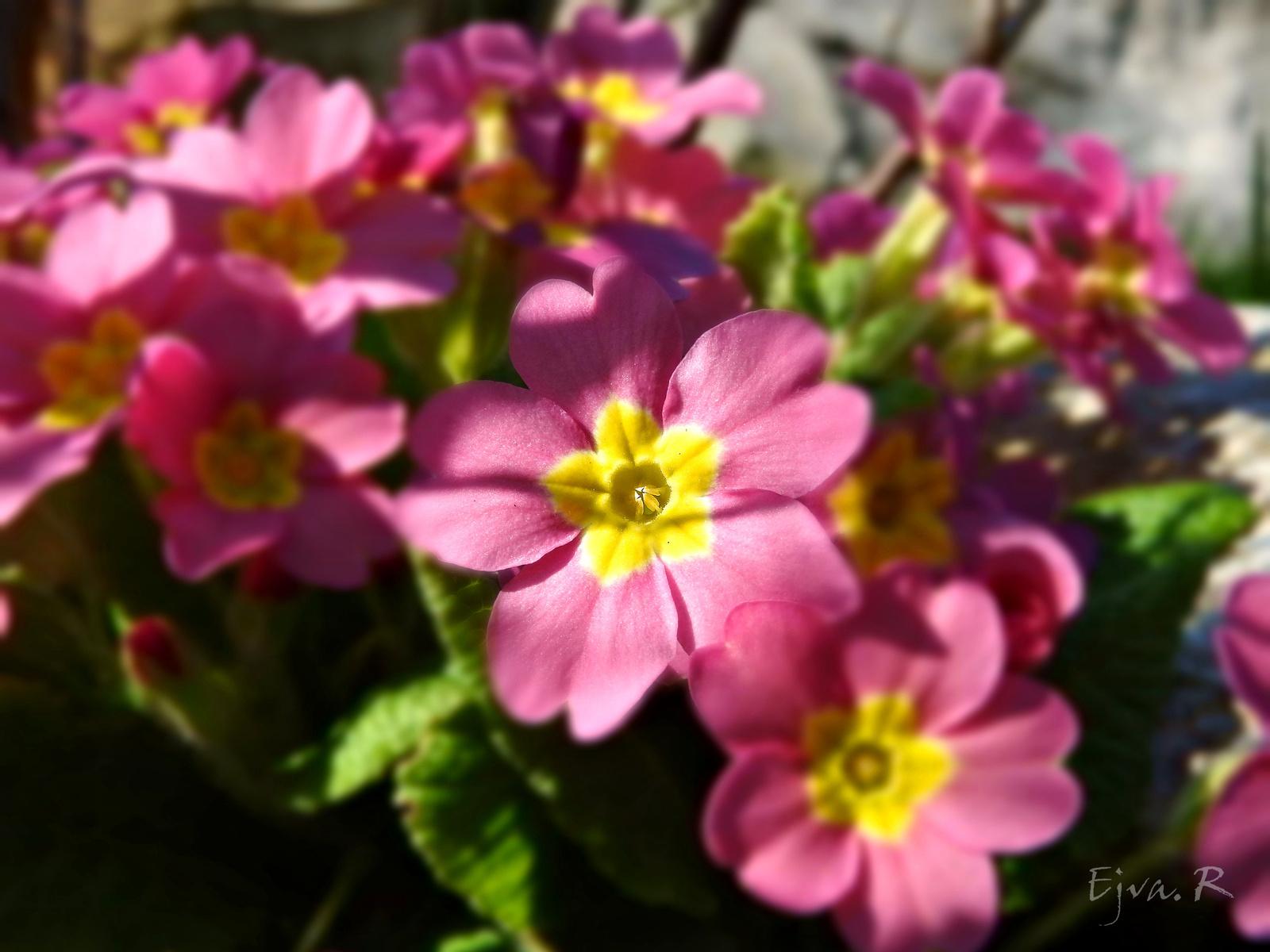 A kankalin (Primula)