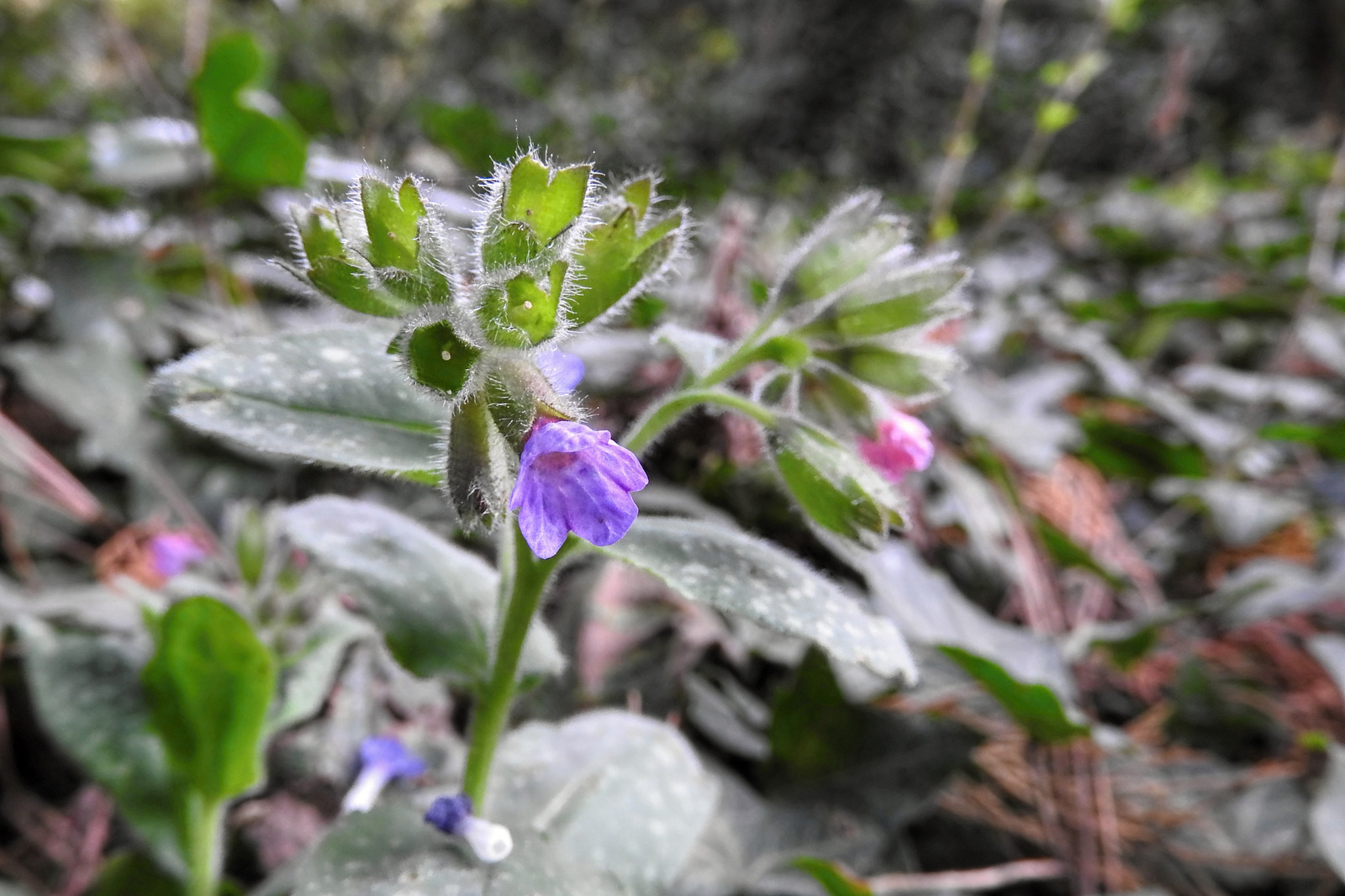 Botanikus kert /Orvosi tüdőfű (Pulmonaria officinalis)
