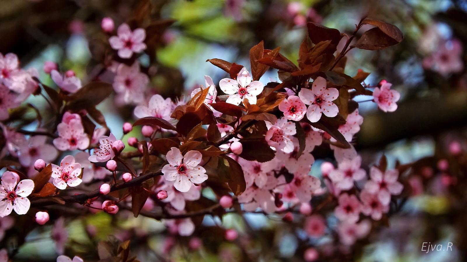 Virágzik a vadszilvafa