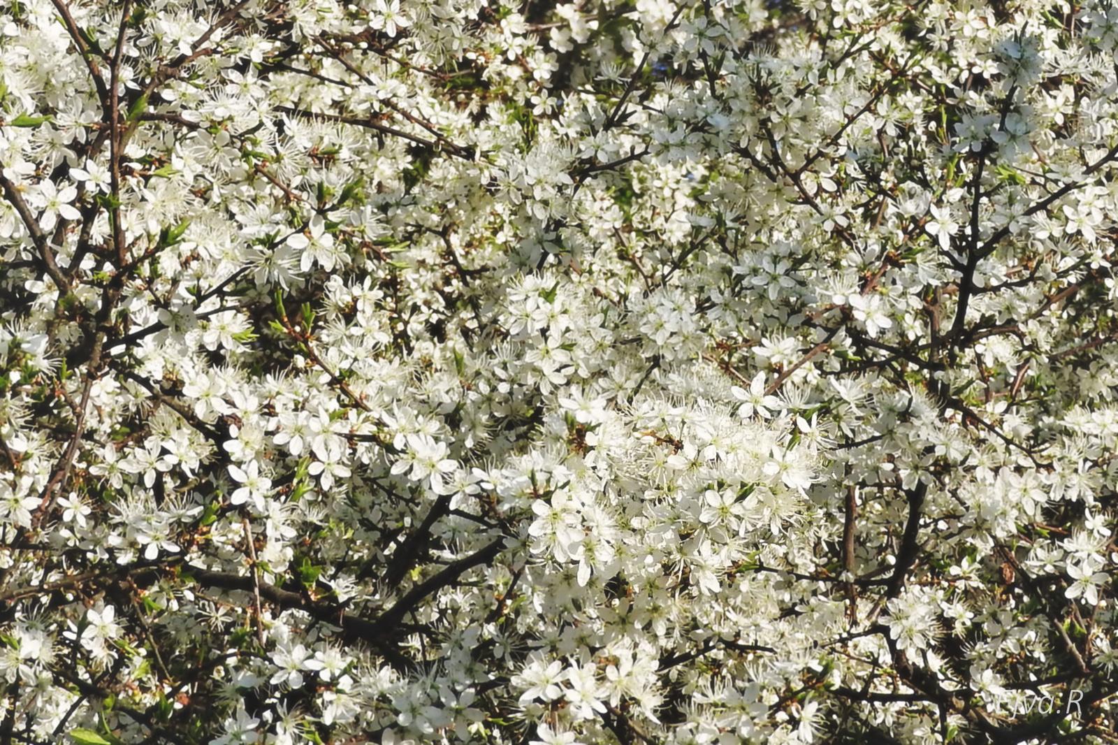 Kökényvirág (Prunus spinosa)