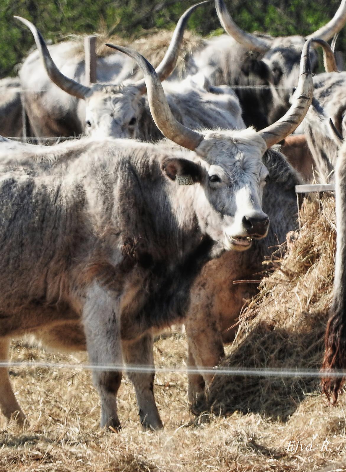 Fertő táj Magyar szürke szarvasmarha (Bos taurus)