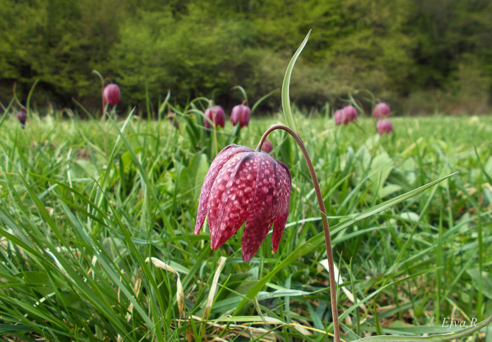 A mocsári kockásliliom vagy kotuliliom (Fritillaria meleagris)