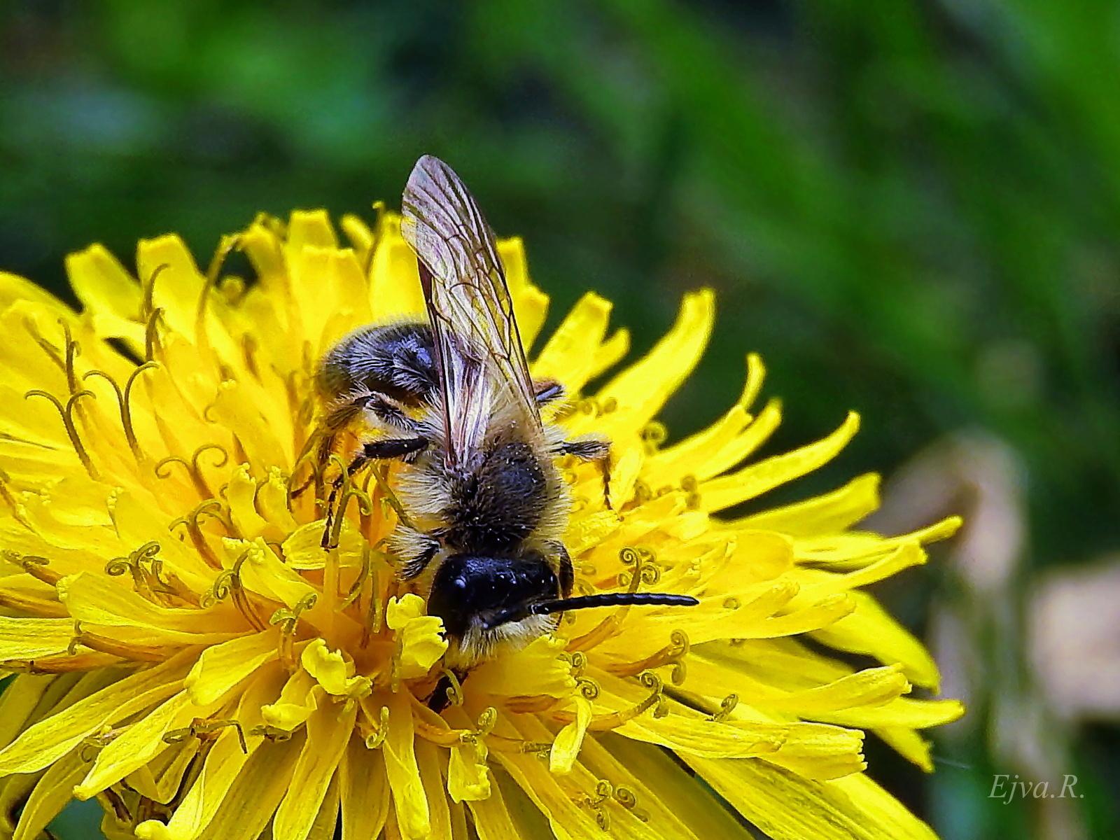 Fiatal méhecske