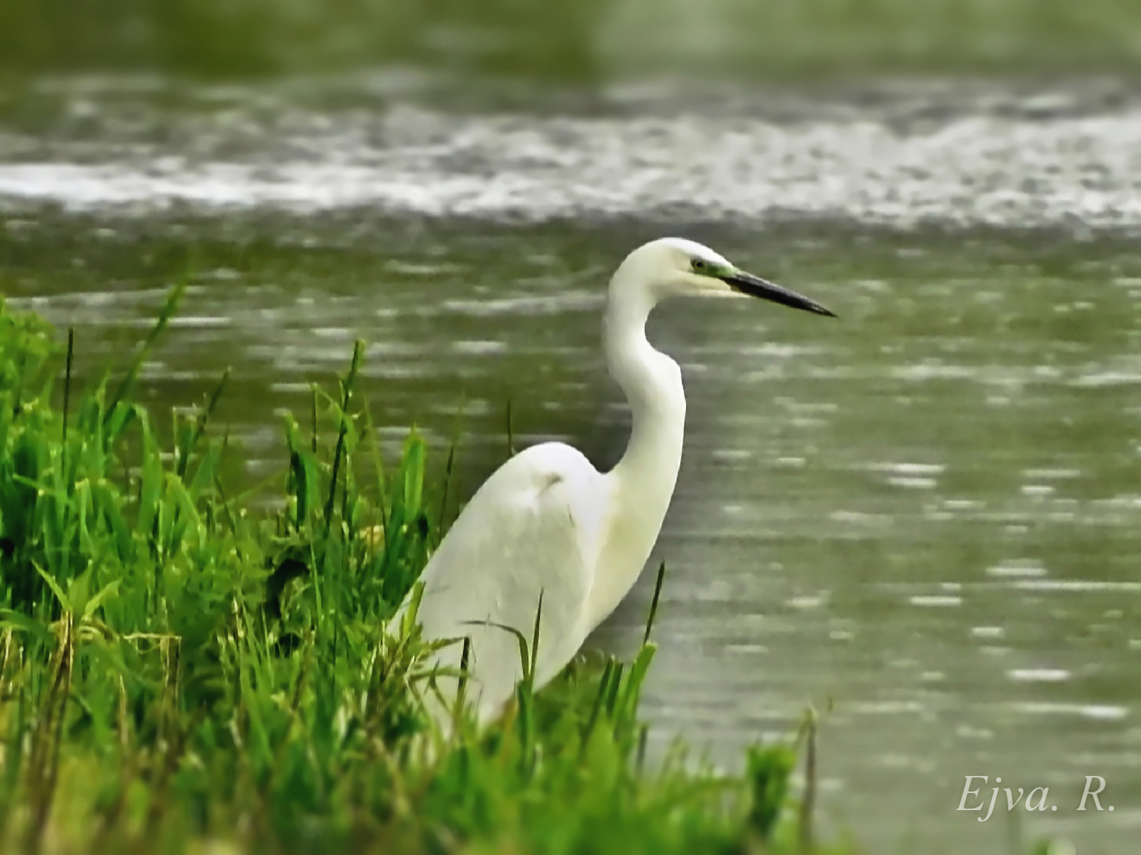 Halászat esőben/ Nagy kócsag (Ardea alba)