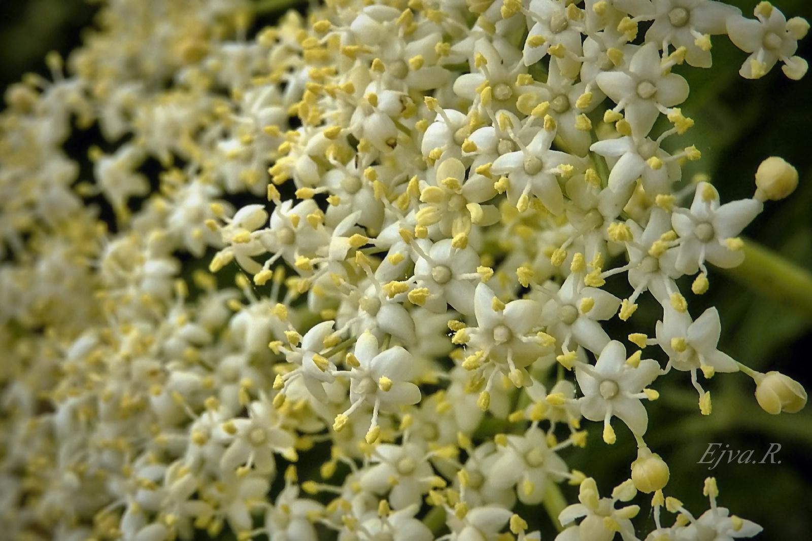 Bodzavirág (Sambucus)
