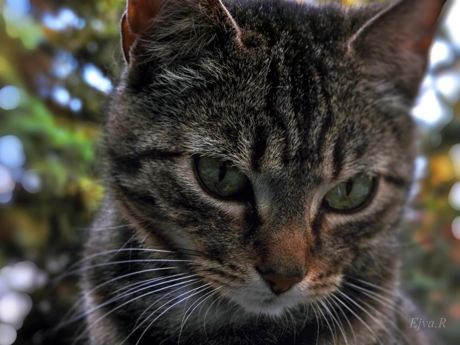 A macska ( Felis silvestris catus)