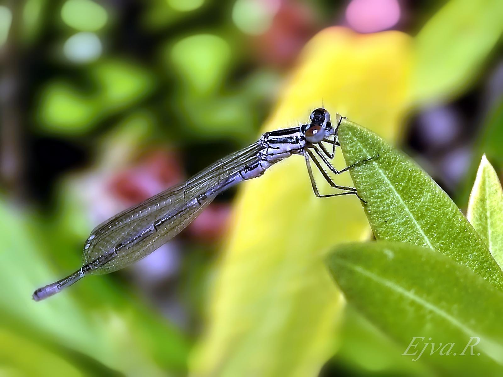 A kék légivadász szitakötő (Ischnura elegans)