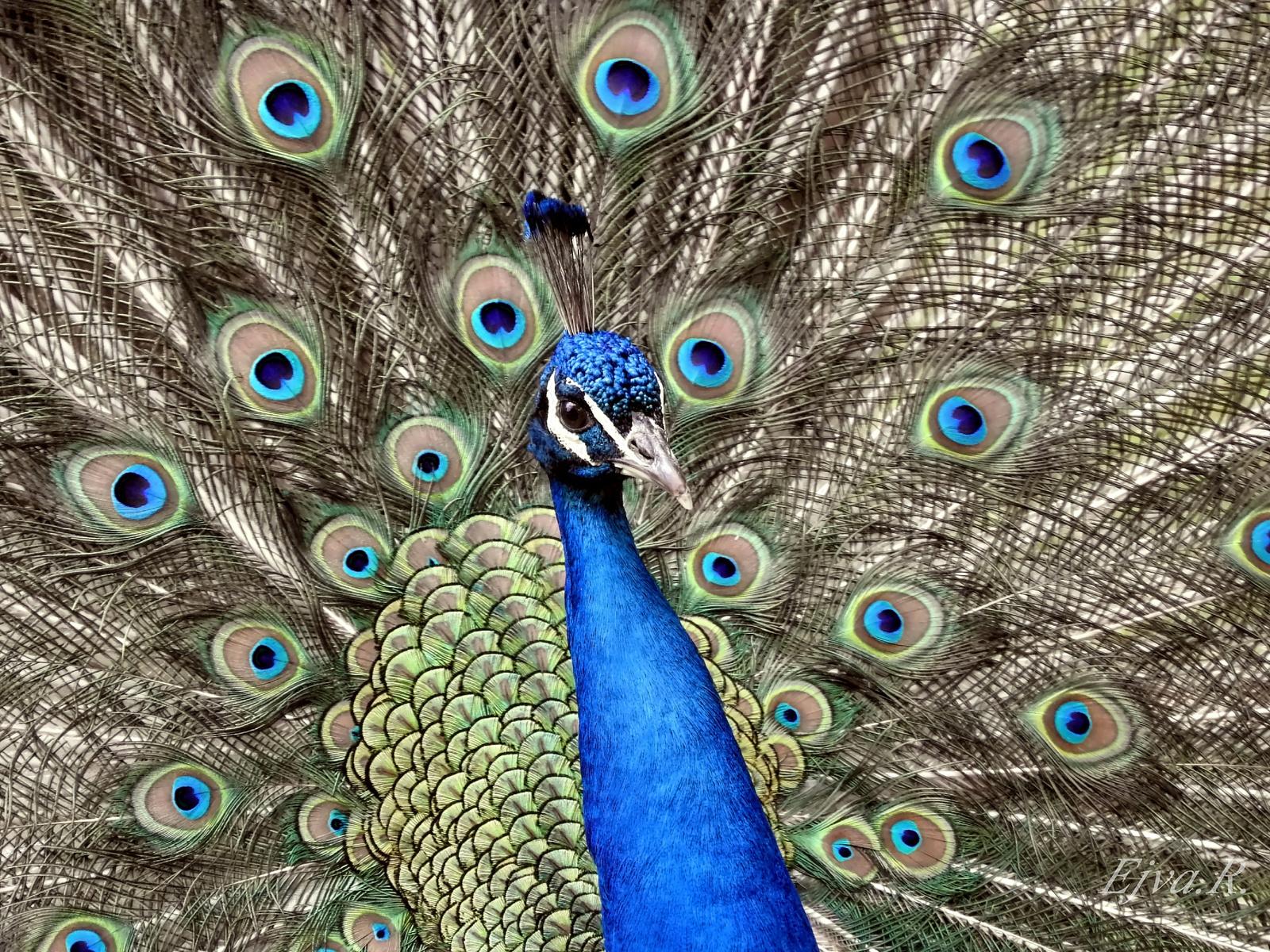 A kék páva vagy indiai páva (Pavo cristatus)