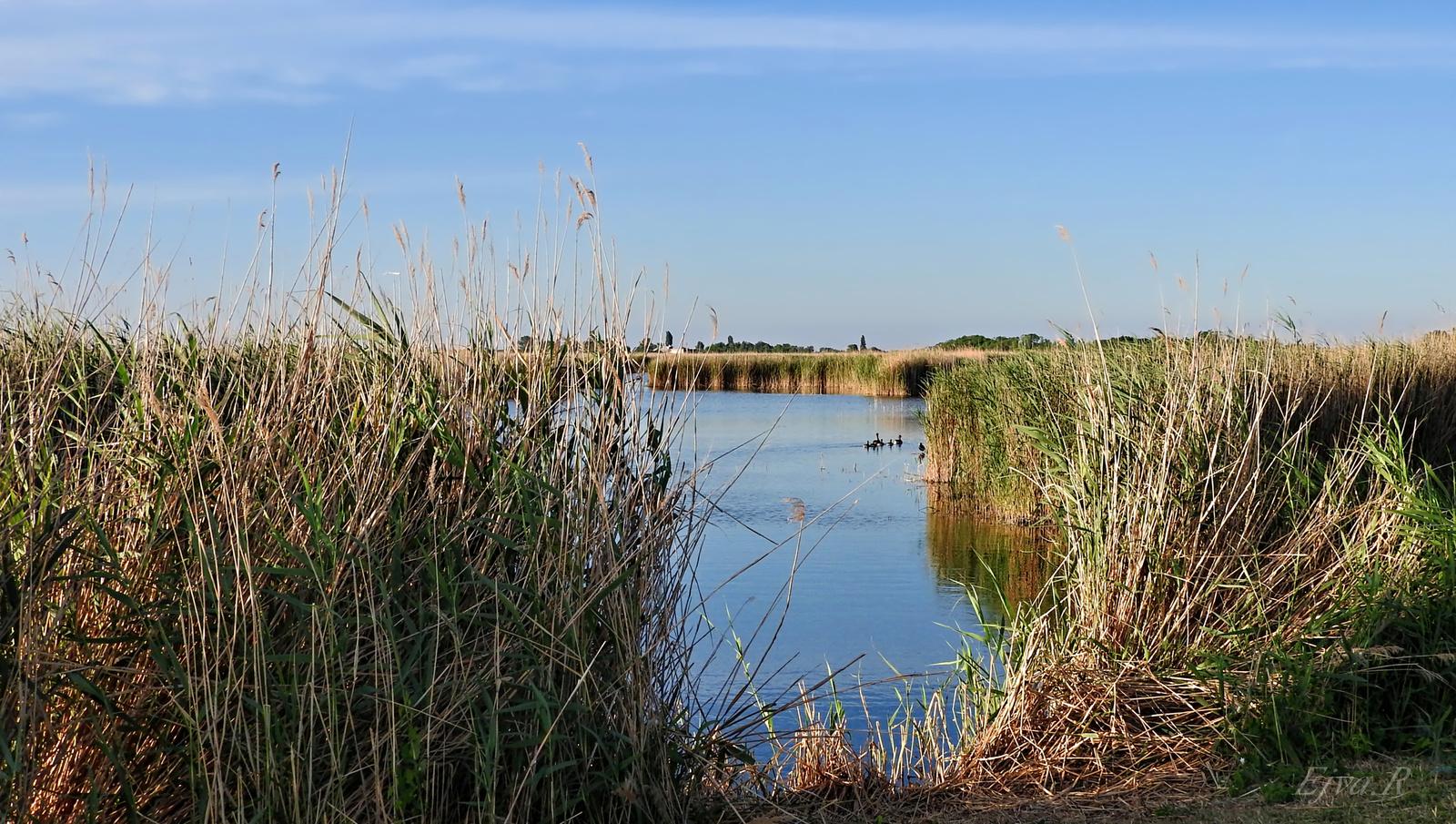 Fertő tó Nád Nyár