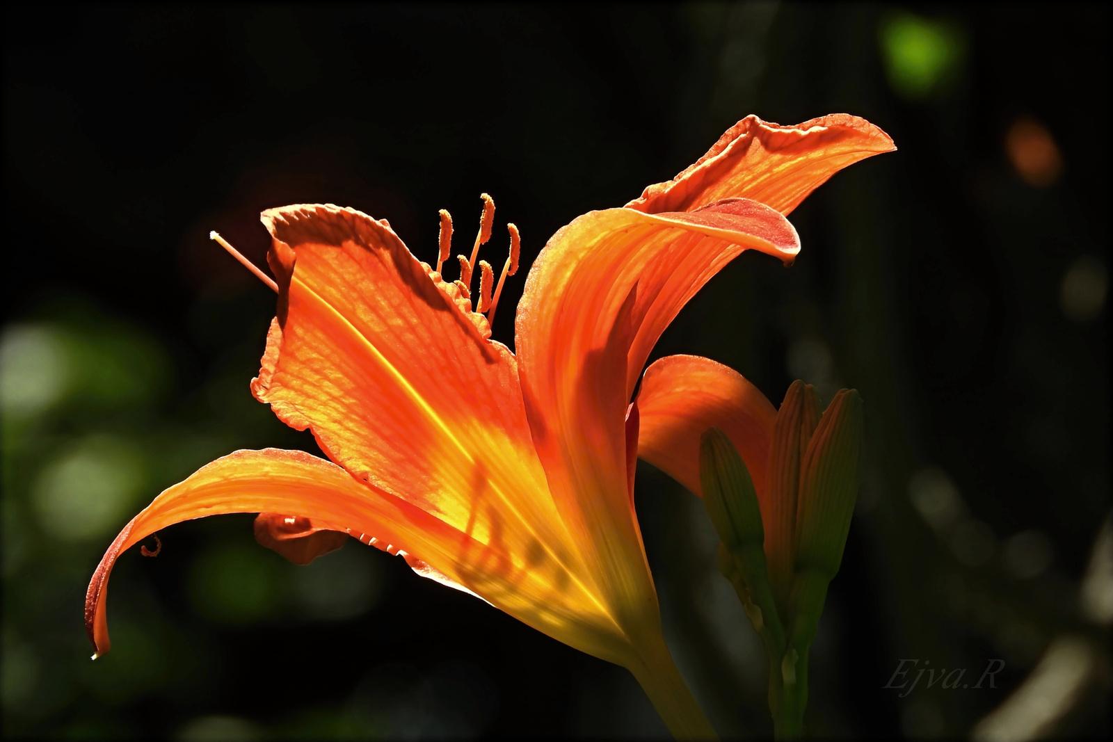Liliom (Lilium)