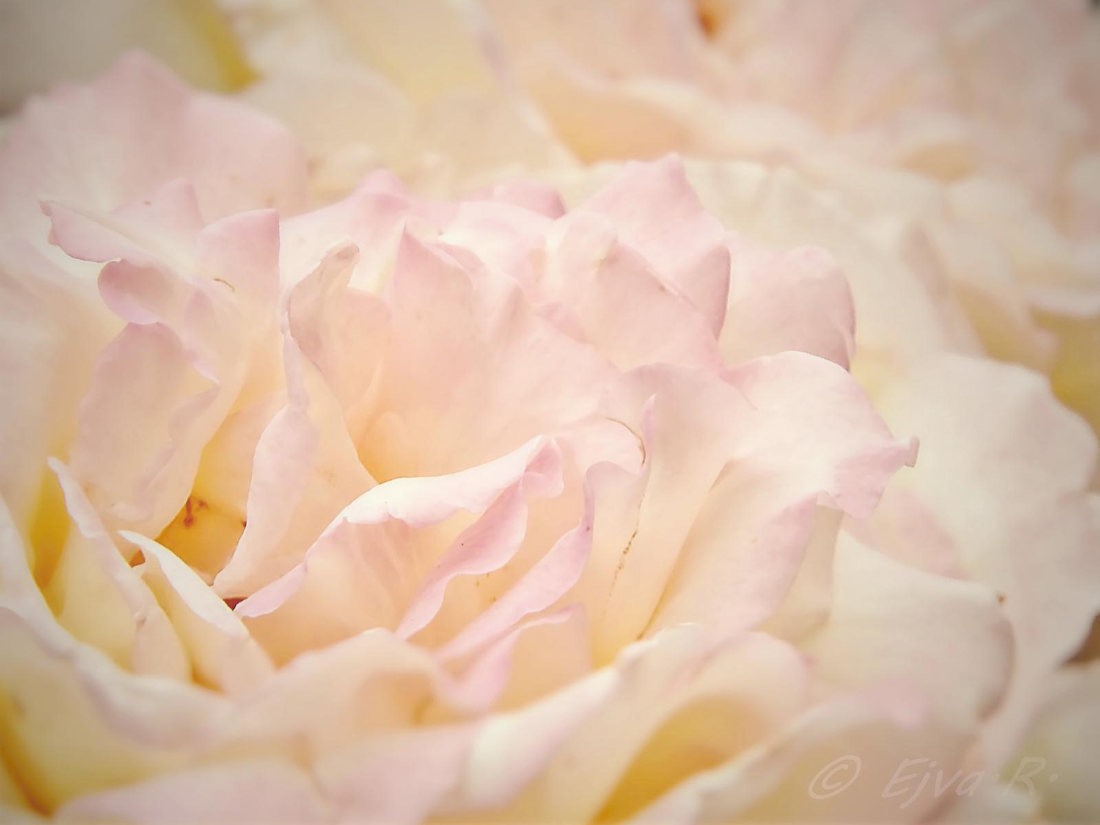 Rózsaszírmok