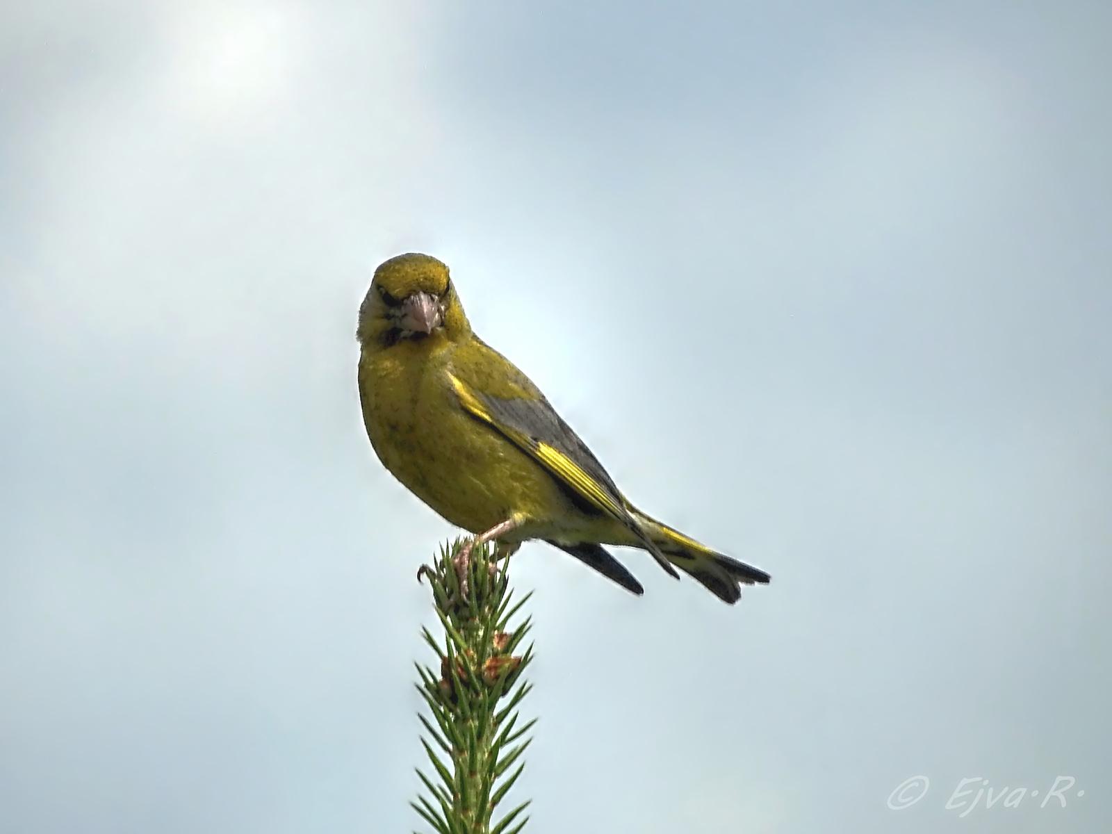 Zöldike madár (Chloris chloris)