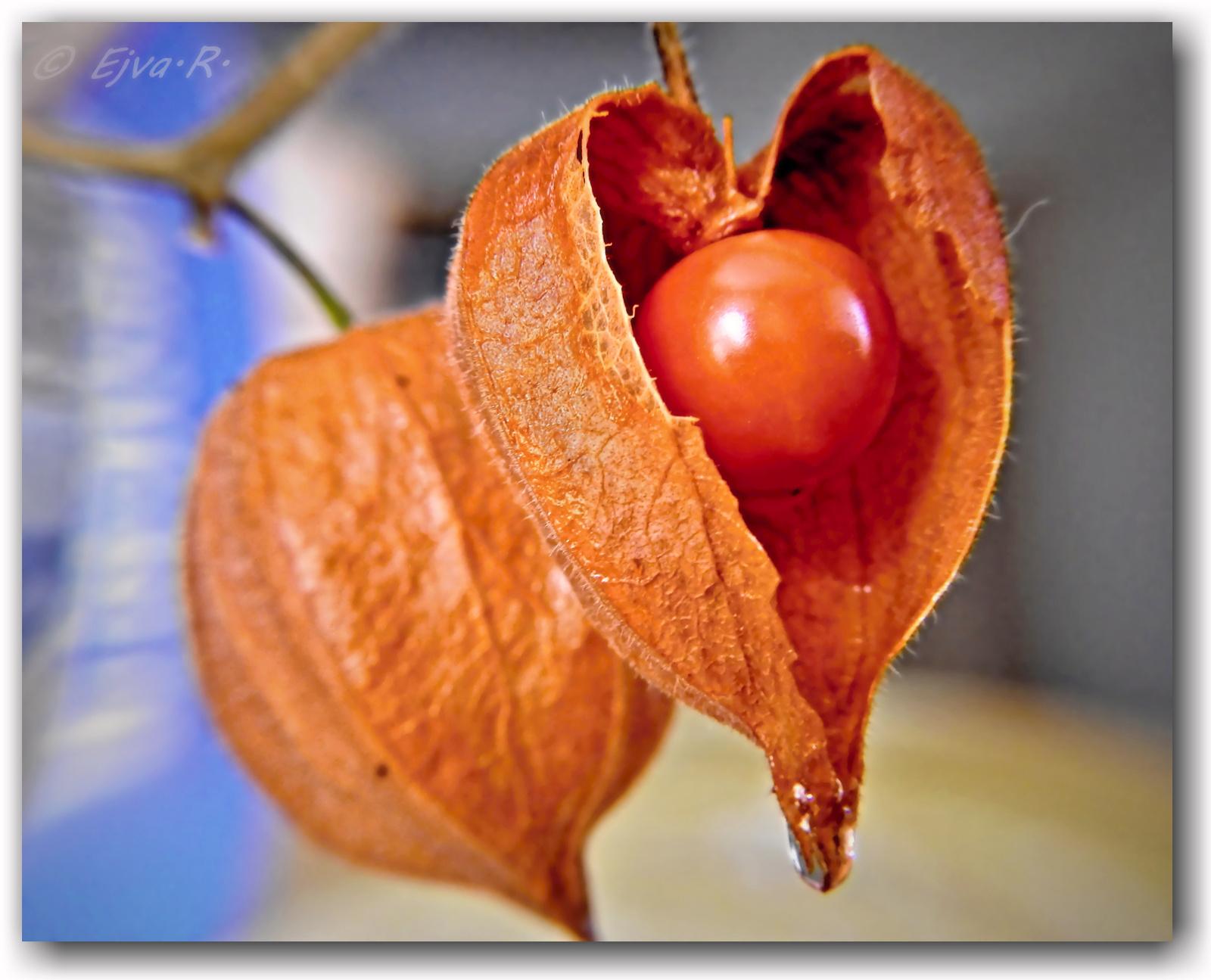 Lampionvirág gyümölcsök (Physalis alkekengi)