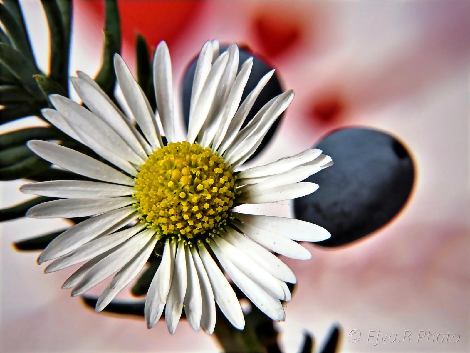 Virág Százszorszép Ősz
