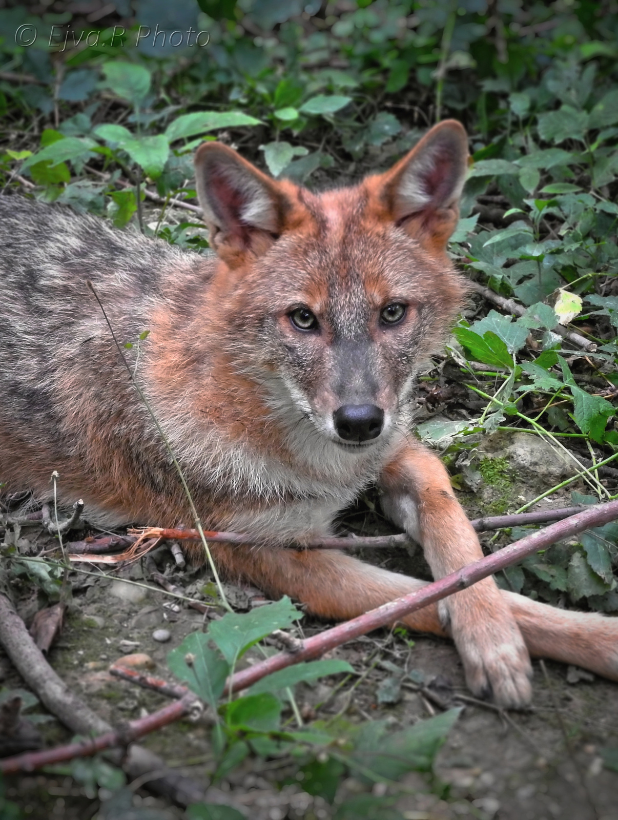 Az aranysakál (Canis aureus)