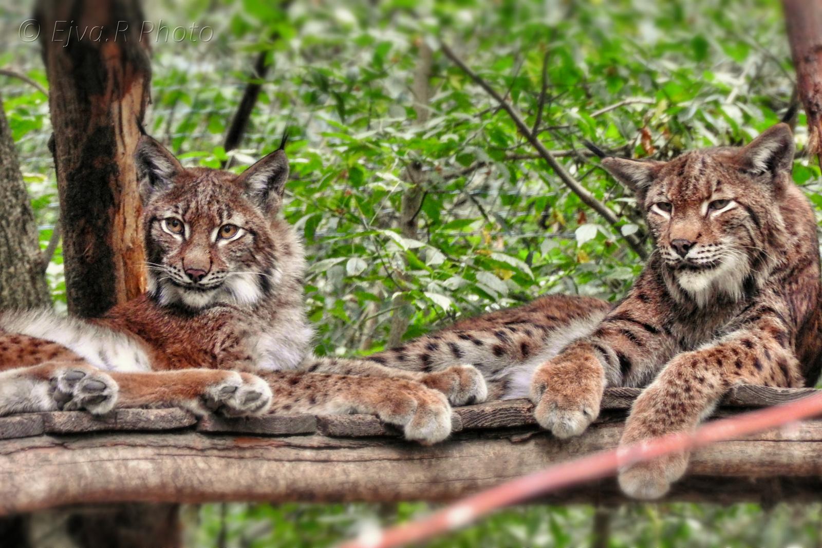 Az eurázsiai hiúz (Lynx lynx)
