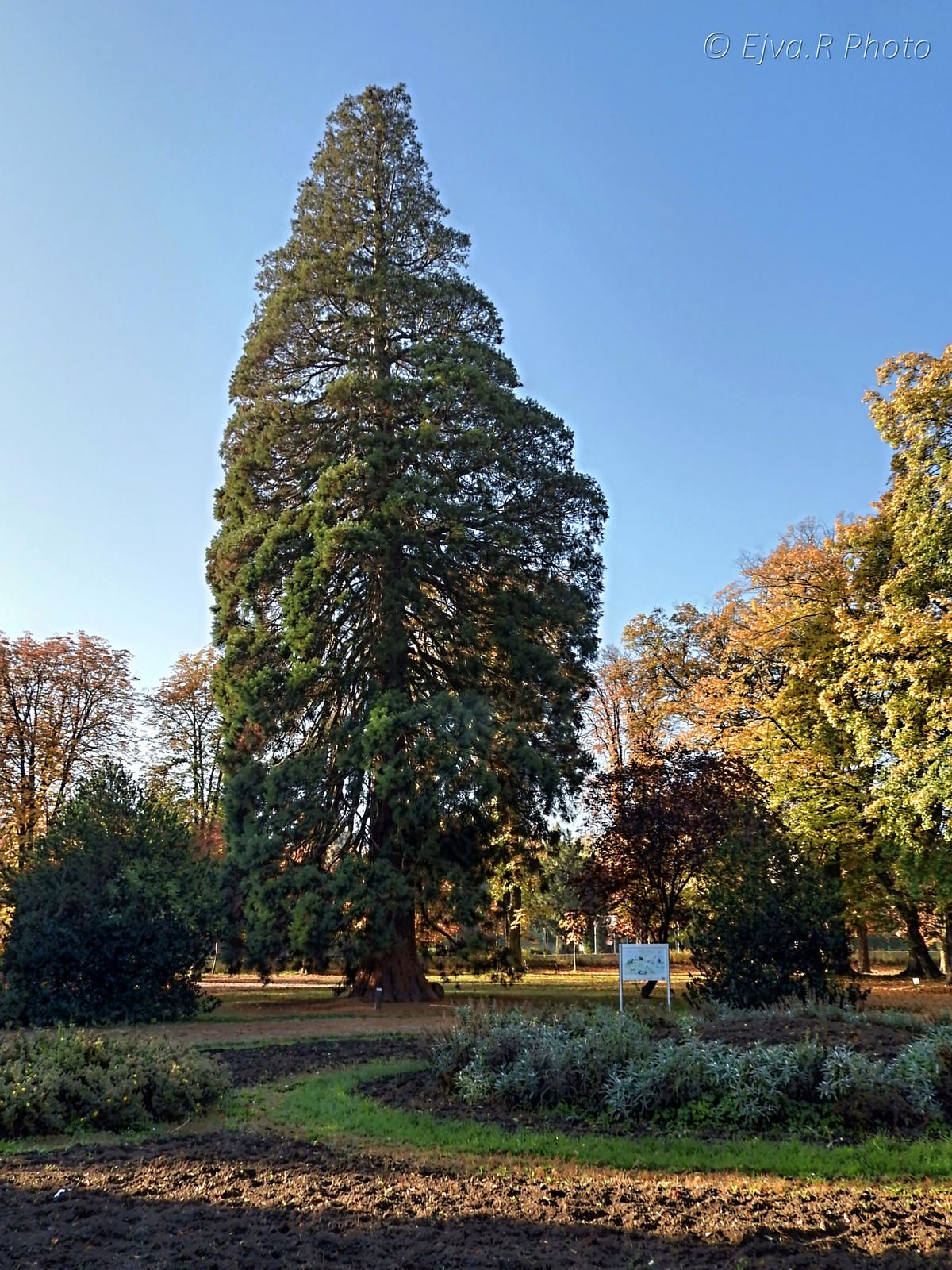 Mamutfenyő Erzsébet kert Ősz