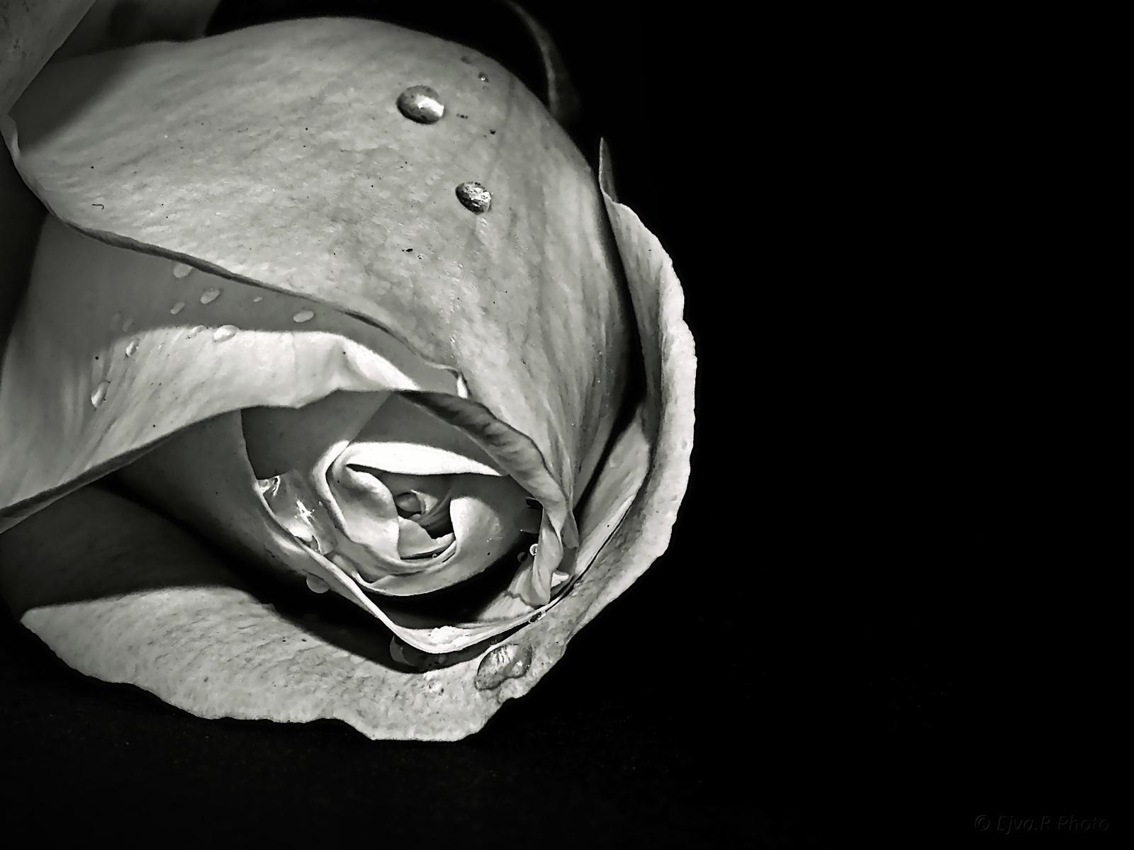 Rózsa Fekete háttér November 1