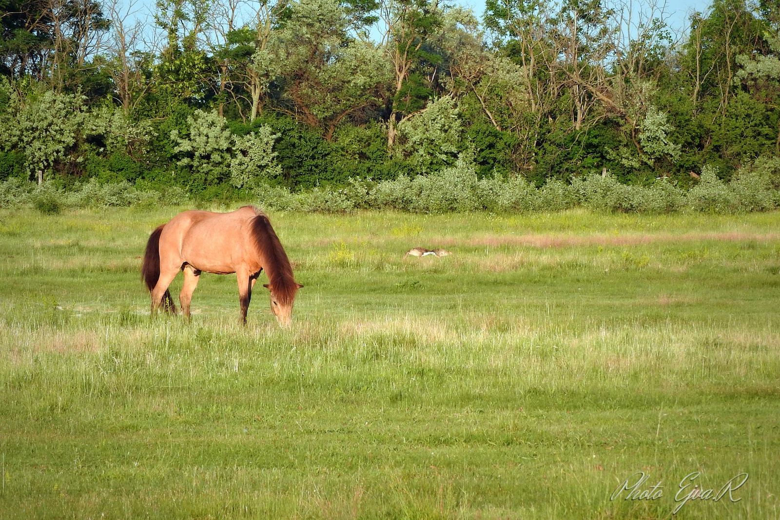 Legelő Ló