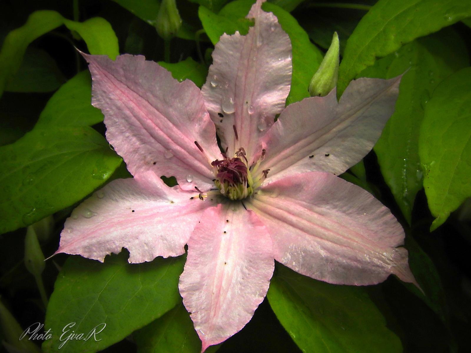 Tavasz virág rózsaszín