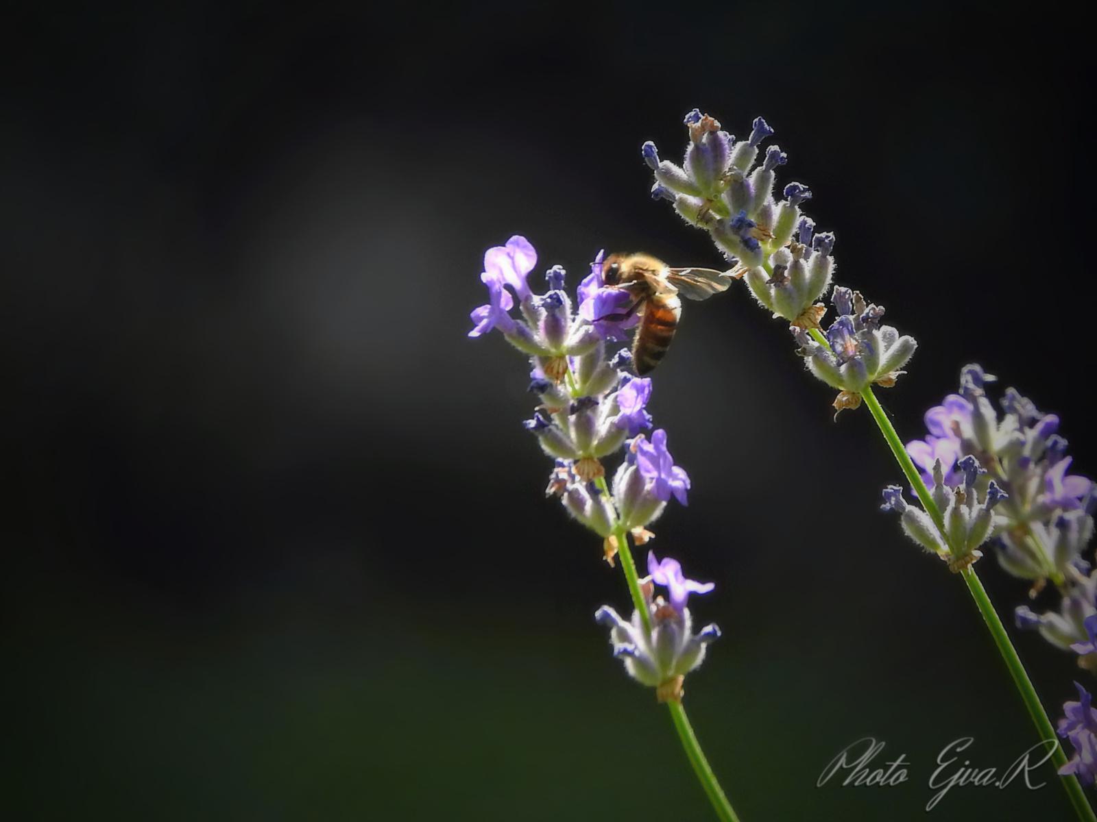Levendula Méh Nyár