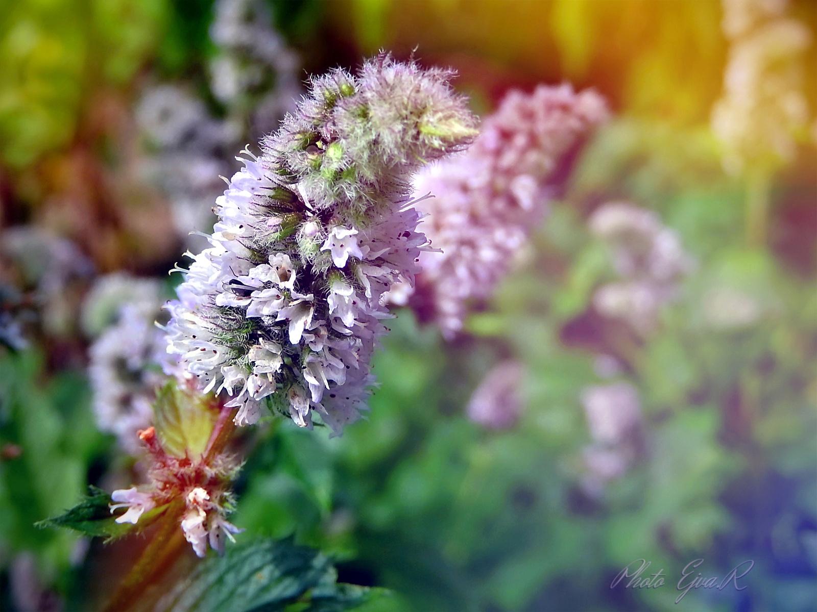 Menta virág