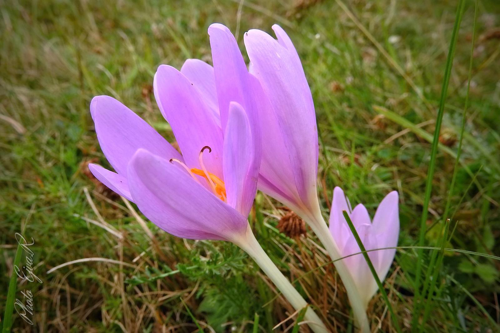 Őszi kikerics (Colchicum autumnale)