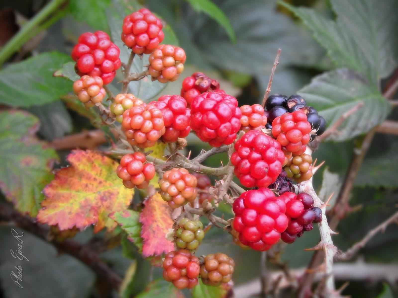 A vadszeder (Rubus fruticosus)