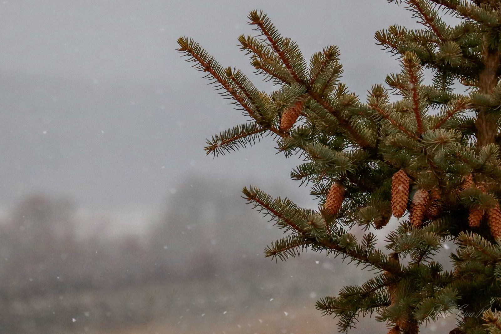 Hópihék Fenyőágak Tél