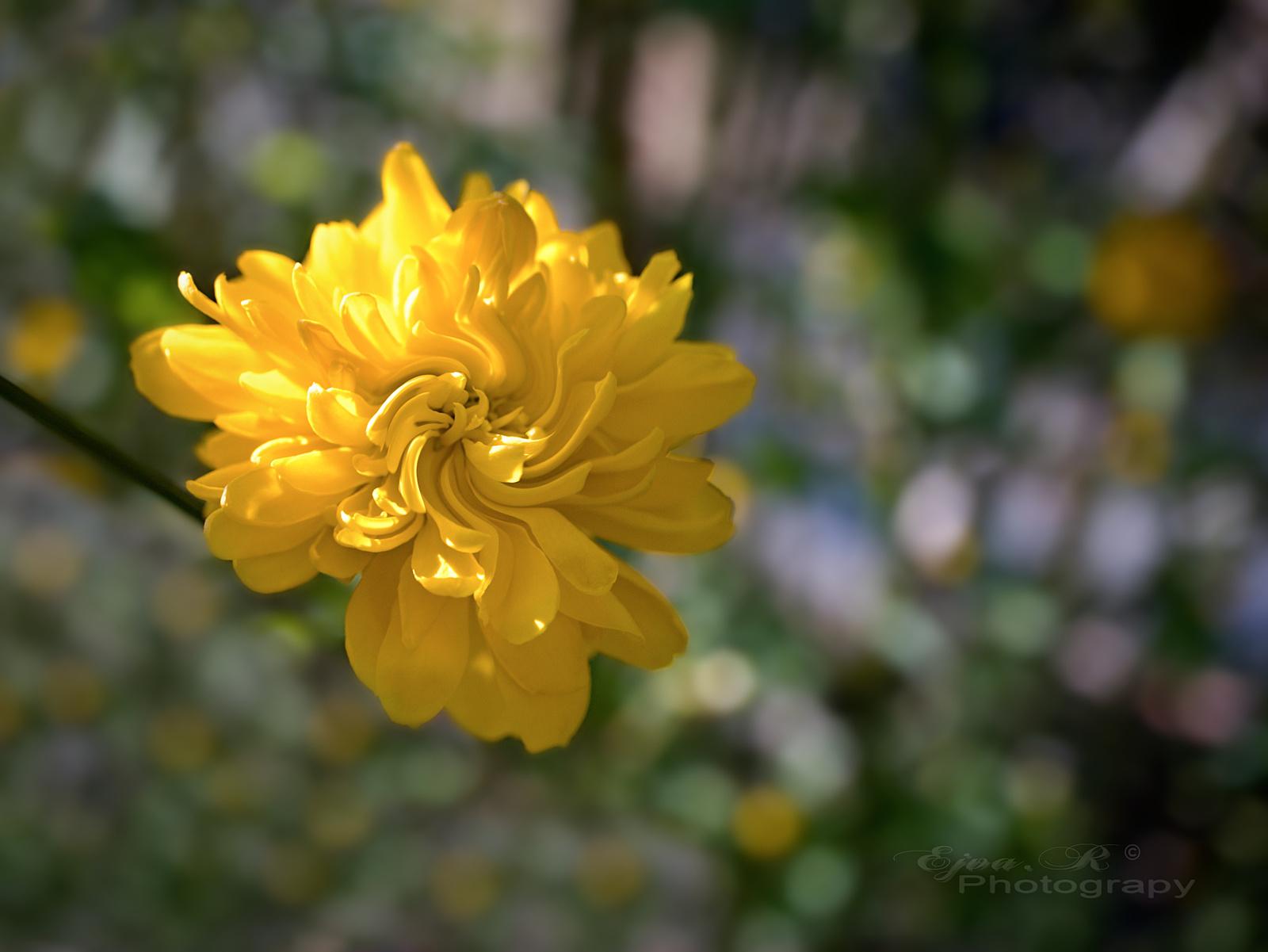 Tavasz A boglárkacserje (Kerria japonica)