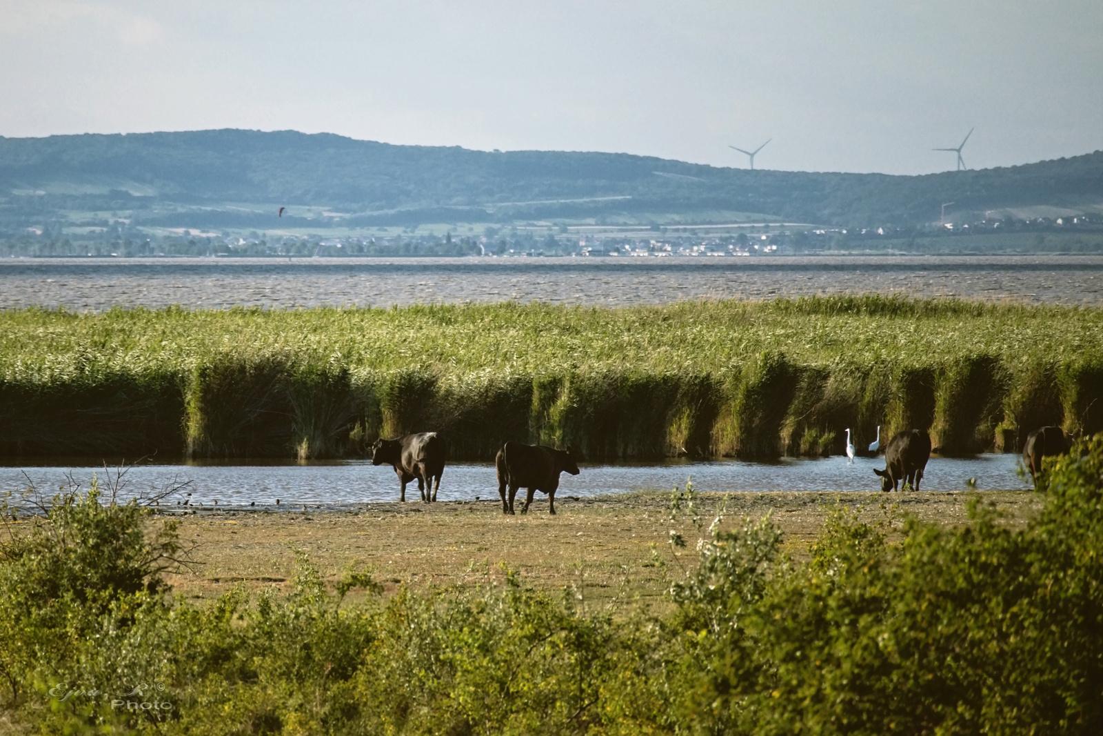 Angus szarvasmarha Fertő-tó Táj