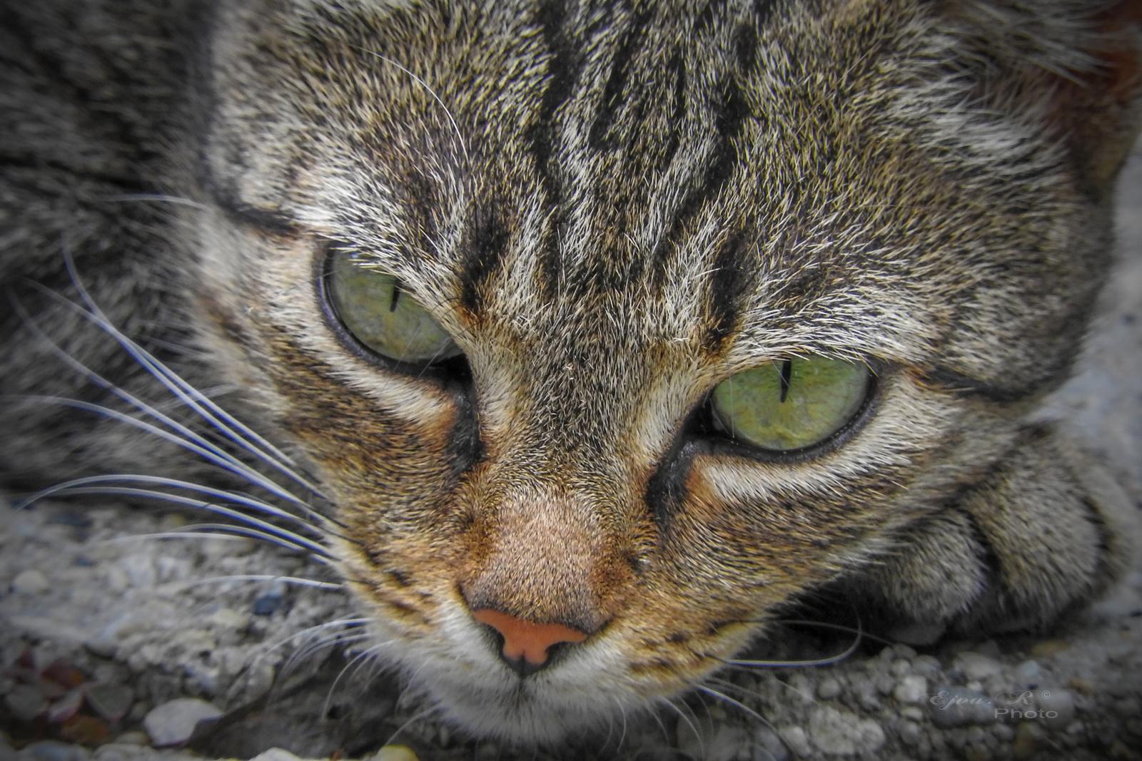 Macska portré