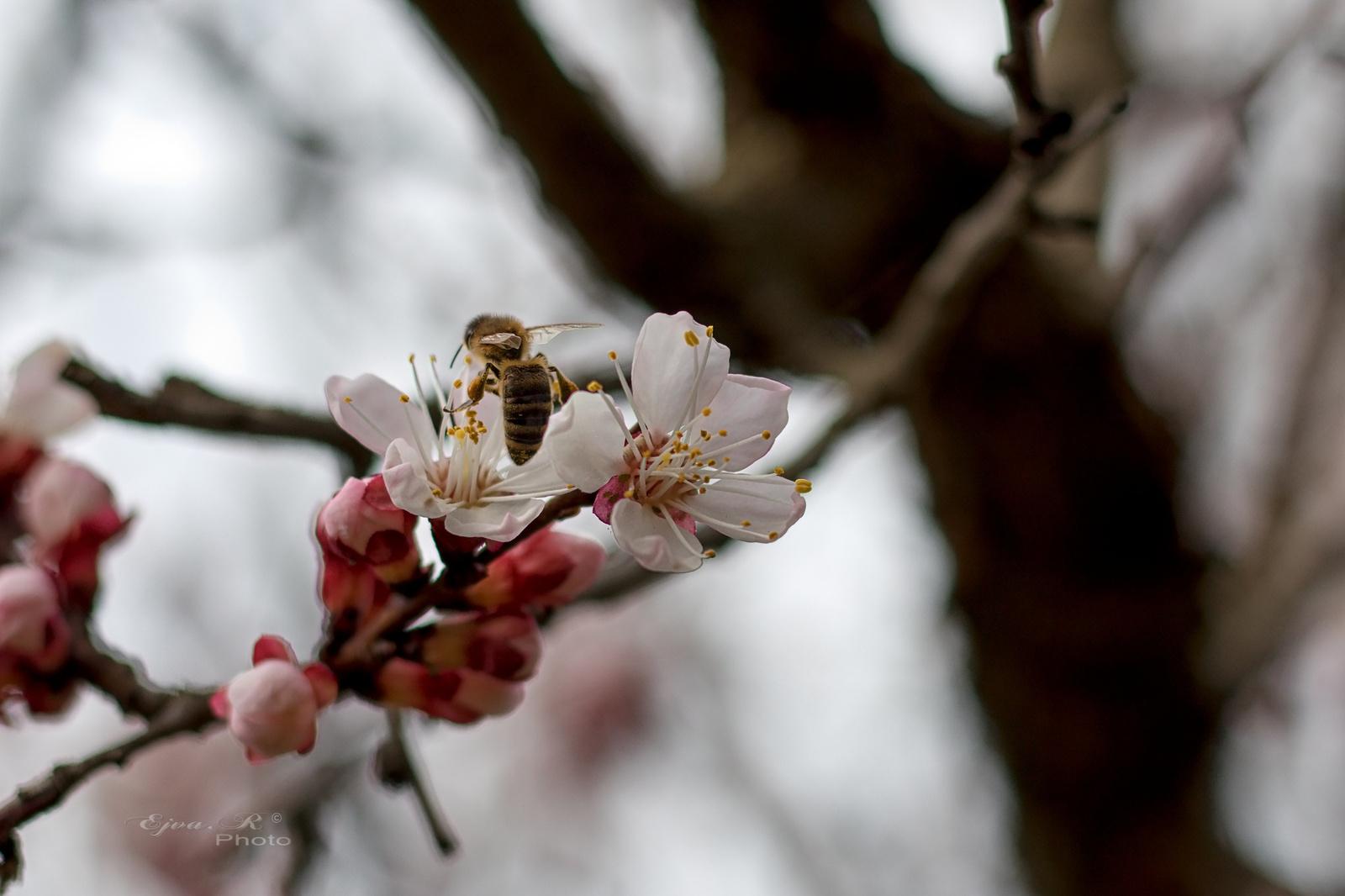 Gyömölcsfavirág Tavasz Háziméh